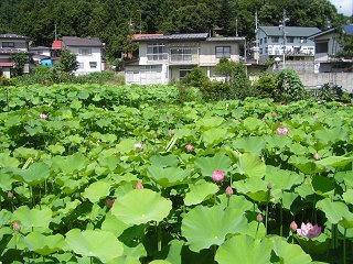 090720_1018_奈良沢蓮田(飯山市)