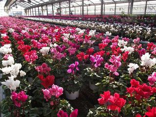 101120_1440_道の駅花の里いいじまに隣接するハウスで栽培されているミニシクラメン(飯島町)