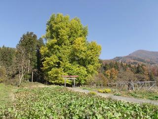 101121_1154_神戸のイチョウ(飯山