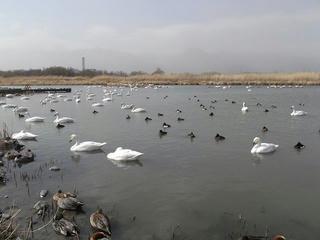 110227_1251_御宝田遊水池のコハクチョウ(安曇野市)