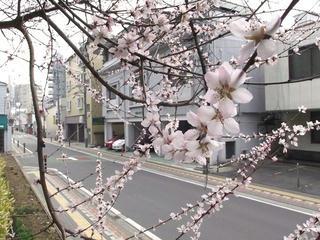 110402_0844_長野市立長野図書館に咲く魯桃桜(長野市)