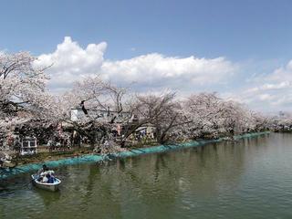 110424_1138_臥竜公園のサクラ(須坂市)