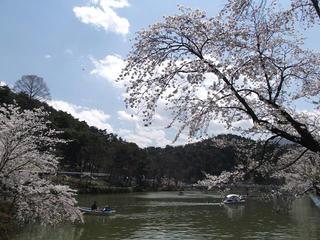 110424_1151_2_臥竜公園のサクラ(須坂市)