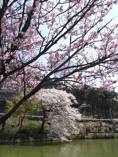 110424_1148_臥竜公園のサクラ(須坂市)