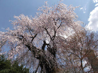 110424_1235_大広院のシダレザクラ(須坂市)