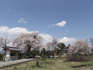 110424_1232_大広院のシダレザクラ(須坂市)