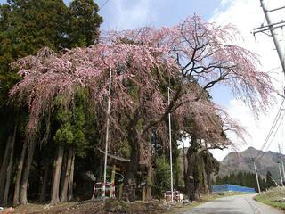 110424_1259_亀倉神社のシダレザクラ(須坂市)