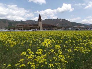 110429_1210_安曇野スイス村の菜の花畑と光城山の桜並木(安曇野市)
