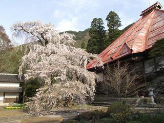 110430_0713_1_長みょう寺のしだれ桜(須坂市)