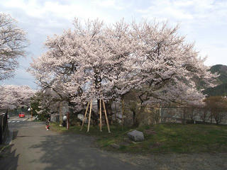 110430_0735_延命地蔵堂のアズマヒガン桜(須坂市)