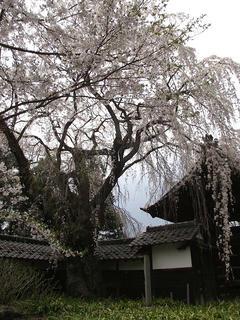 110430_1302_谷巌寺の桜(中野市)