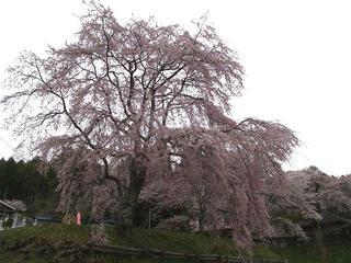 110503_1230_宝蔵寺の桜(売木村)