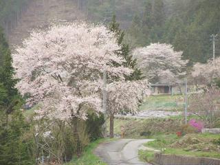 110503_1231_宝蔵寺周辺の桜(売木村)