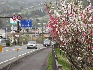 110503_1608_国道153号線に咲く花桃(阿智村)