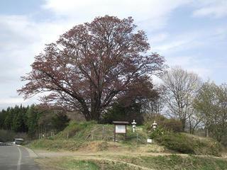 110507_1518_地蔵久保のオオヤマザクラ(飯綱町)