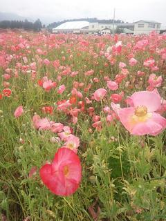110618_1313_ほりがね物産センター横の休耕田に咲くポピー(安曇野市)