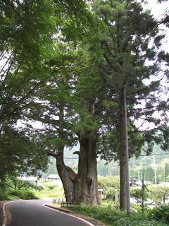 110816_1251_国指定天然記念物 月瀬の大杉(根羽村)