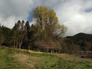 111204_1155_神戸のイチョウ(飯山市)