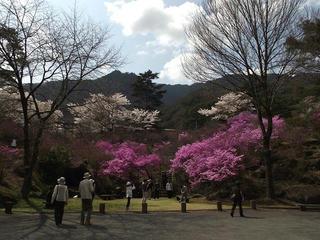 120421_1350_天白公園のミツバツツジ(南木曽町)