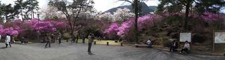 120421_1347_天白公園のミツバツツジ(南木曽町)