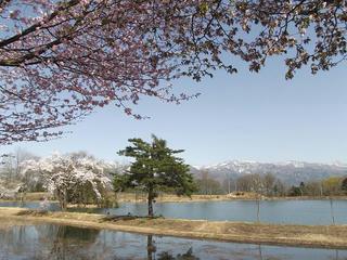 120428_1411_長峰スポーツ公園のサクラ(飯山市)