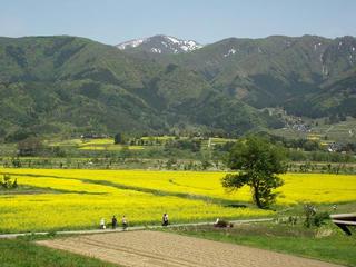 120513_1308_飯山市小沼の菜の花(飯山市)