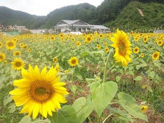 120814_1112_信州平谷温泉ひまりの湯横にあるひまわり畑(平谷村)