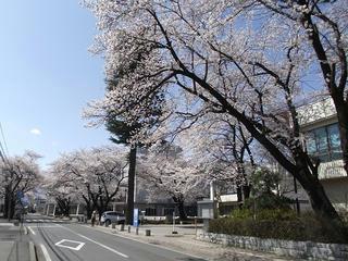 130413_1354_塩尻市役所周辺の桜並木(塩尻市)