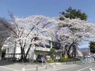 130413_1355_塩尻市役所周辺の桜並木(塩尻市)