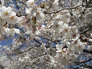 130413_1404_塩尻市役所前に咲くソメイヨシノ(塩尻市)