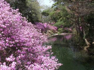 130419_1120_馬見塚公園のミツバツツジ(駒ヶ根市)