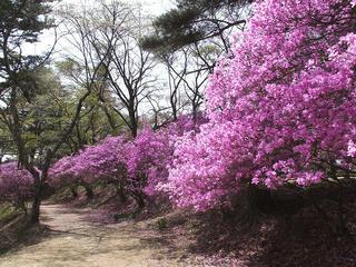 130419_1116_馬見塚公園のミツバツツジ(駒ヶ根市)