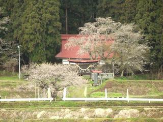 130427_1152_黒川桜林の大桜(飯綱町)