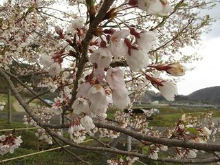 130427_1155_黒川桜林の大桜(飯綱町)