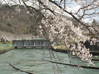 130428_1113_東京電力西大滝ダムの桜並木(飯山市)