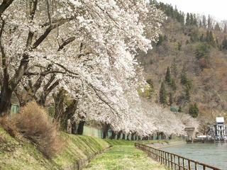 130428_1117_東京電力西大滝ダムの桜並木(飯山市)