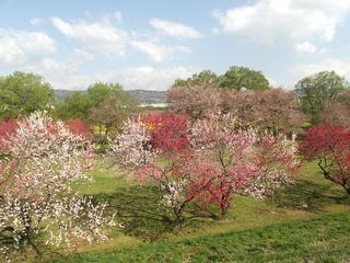 130428_0816_千曲川ふれあい公園に咲くハナモモと菜の花(小布施町)