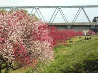 130428_0805_千曲川ふれあい公園に咲くハナモモと菜の花(小布施町)