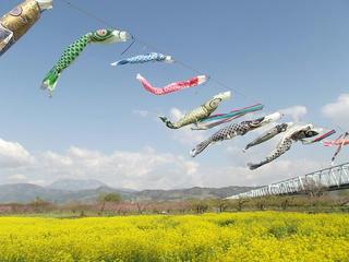 130428_0810_千曲川ふれあい公園に咲く菜の花(小布施町)