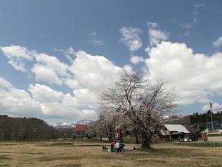 130428_1122_東京電力西大滝ダムの桜並木(飯山市)