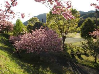 130503_1706_2_大桑村スポーツ公園に咲く八重桜(大桑村)
