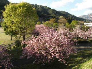 130503_1707_大桑村スポーツ公園に咲く八重桜(大桑村)