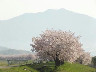 130503_0759_千曲川ふれあい公園から続く桜並木(小布施町)