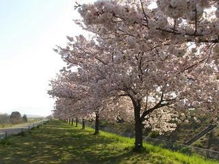130503_0740_千曲川ふれあい公園から続く桜並木(小布施町)