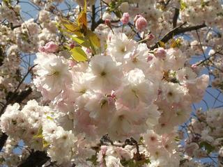 130503_0758_千曲川ふれあい公園から続く桜並木(小布施町)