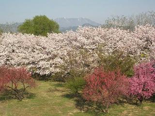 130503_0746_千曲川ふれあい公園から続く桜並木(小布施町)