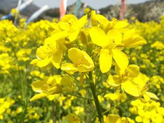130505_1118_第25回菜の花まつり(中野市)