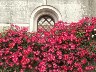 130601_1545_安曇野市豊科近代美術館に咲くバラ(安曇野市)
