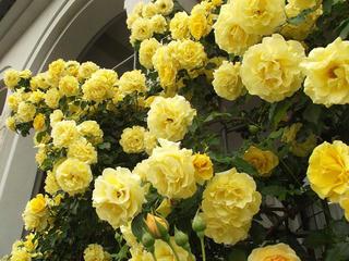 130601_1542_安曇野市豊科近代美術館に咲くバラ(安曇野市)