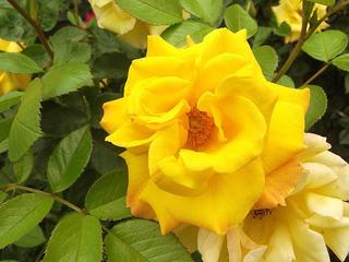 130601_1549_2_安曇野市豊科近代美術館に咲くバラ(安曇野市)